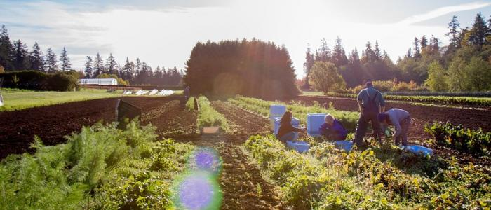 UBC Farm with rows of produce and a group of UBC students on the right side harvesting vegetables