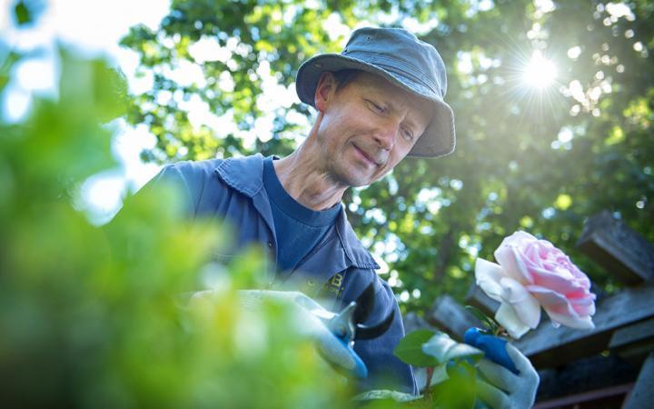 Male gardener pruning a rose