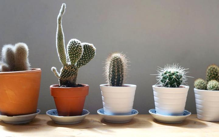 A lineup of cacti